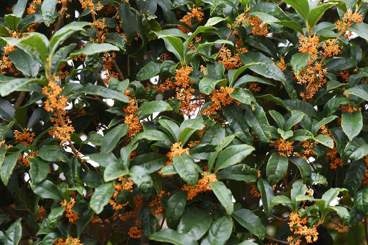 L'Osmanto odoroso per profumare il giardino in autunno